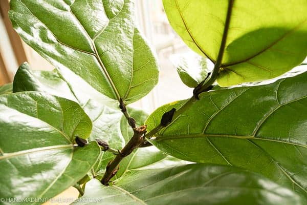 new growth on fiddle leaf fig tree after being pruned
