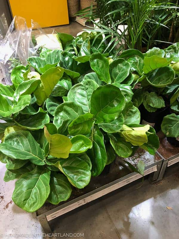 small fiddle leaf fig's at home depot