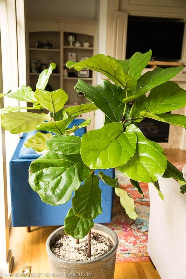 large 2 branch fiddle leaf fig tree inside potted