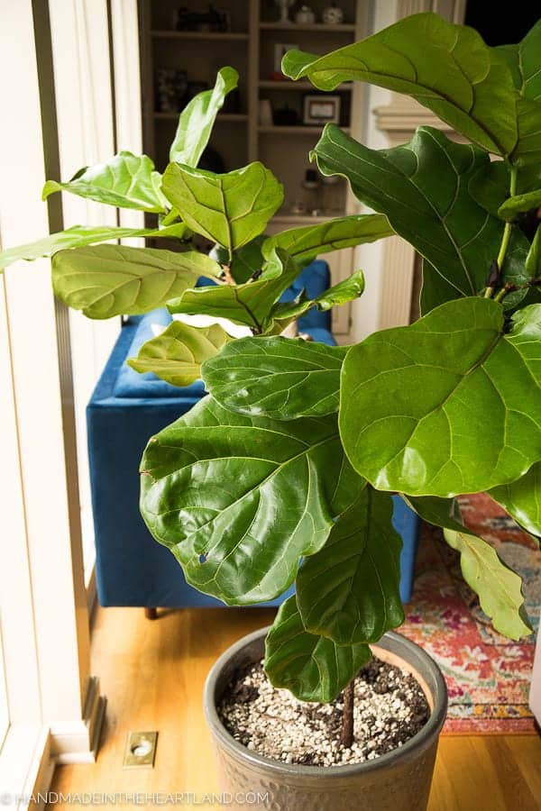 How To Care For A Fiddle Leaf Fig Tree Handmade In The
