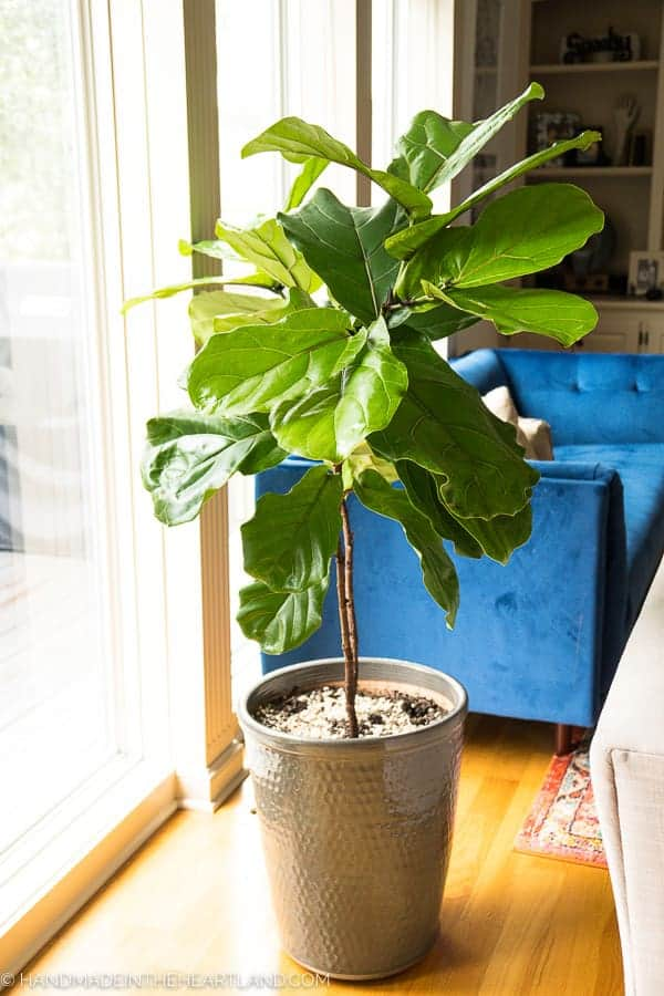 How to care for a Fiddle Leaf Fig Tree | Handmade in the ... Dark Green Spike Houseplant Leaves on green leaves, fruit leaves, bulb leaves, wreath leaves, snow leaves, wildflower leaves, fossil leaves, garden leaves, grass leaves, poinsettia leaves, moss leaves, honeysuckle leaves, hedge leaves, bonsai leaves, cactus leaves, plants leaves, fall color leaves, leaf leaves,