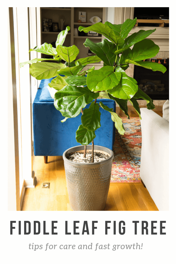 fiddle leaf fig tree with branches in living room next to window