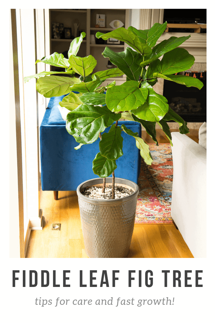 If you've recently become obsessed with the most popular houseplant of the year the Fiddle Leaf Fig Tree, you are going to love my tips for how to care for this lovely indoor tree.